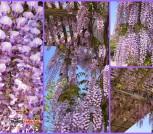 Pomi ornamentali